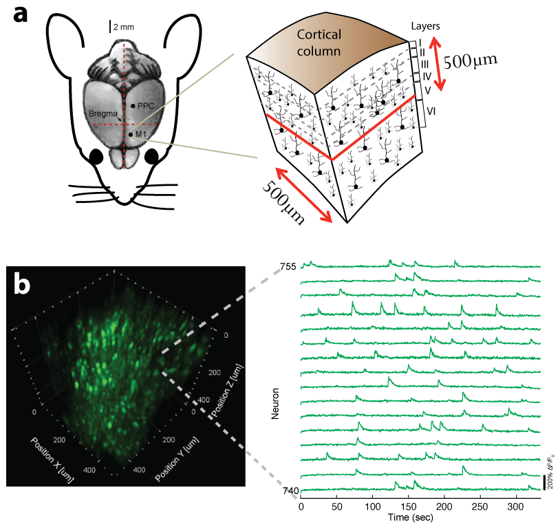Fast volumetric Ca2+ imaging across a cortical column in the in-vivo mouse
